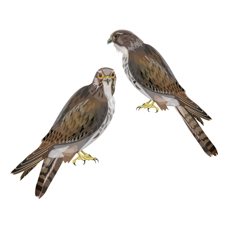 Two seated falcons. Vector illustration isolated on white background.
