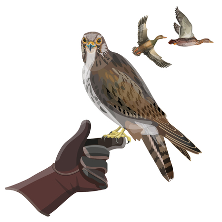 Hunting falcon sits on gloved hand. Vector illustration isolated on white background.