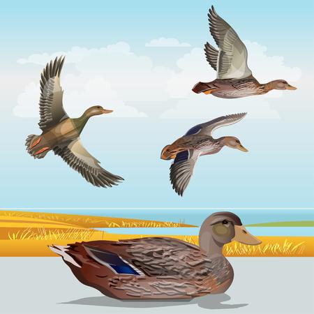 Waterscape with wild ducks. Vector illustration Illustration