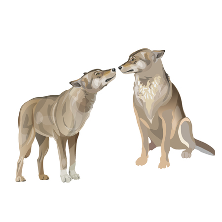 Two gray wolves kissing. Vector illustration isolated on white background