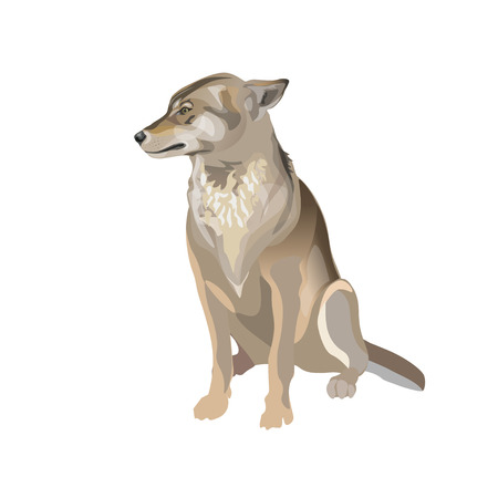 Gray timber wolf sitting with pressed back her ears. Vector illustration isolated on white background Illustration
