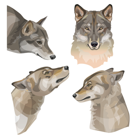 Set of gray wolf vector portraits. Illustration isolated on white background