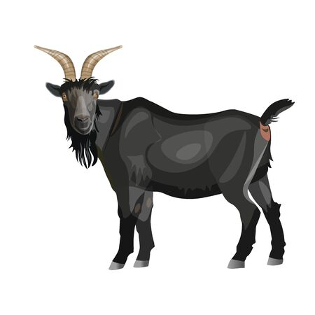 Black goat standing side view. Vector illustration isolated on white background