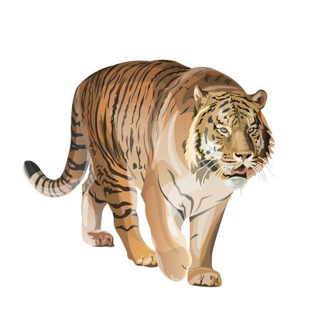 Image of walking tiger. Vector illustration isolated on the white background