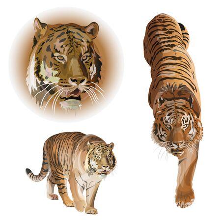 Conjunto de tigres. Ilustración de vector aislado sobre fondo blanco. Ilustración de vector