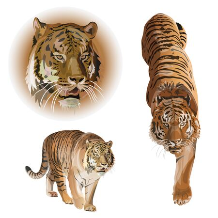 Set of tigers. Vector illustration isolated on white background
