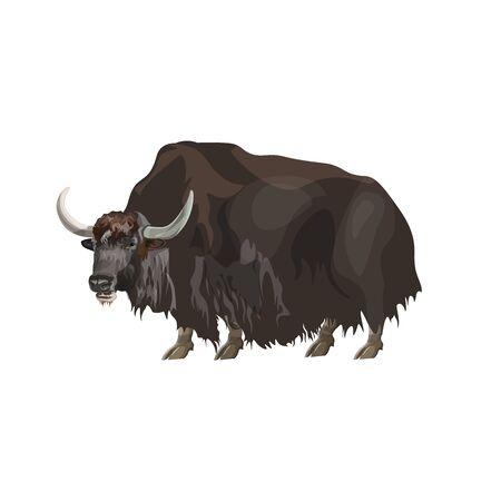 Yak domestique debout. Illustration vectorielle isolée sur fond blanc