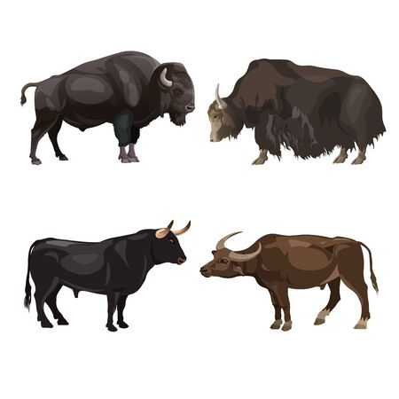 Cattle bulls images - bison, yak, spanish fighting bull and water buffalo. Vector illustration isolated on white background
