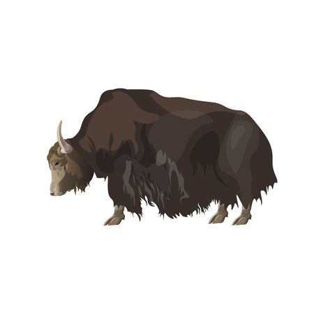 Domestic yak. Side view. Vector illustration isolated on white background Illustration