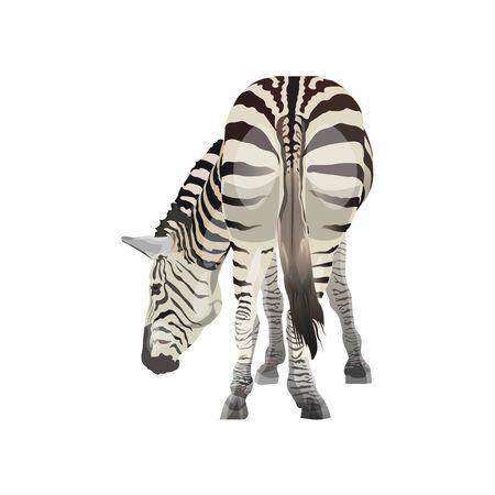 Zebra al pascolo. Vista posteriore. Illustrazione vettoriale isolato su sfondo bianco Vettoriali