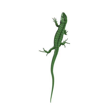 Little green lizard. View from the top. Vector illustration in realistic style isolated on white background