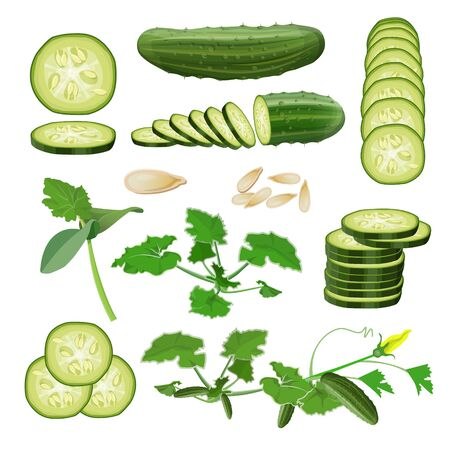 Cucumber set. Seeds, sprout, vine, flower, plant, fruits and cut pieces. Vector illustration isolated on white background