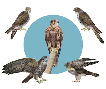 Set of vector falcons. Realistic image isolated on black background.