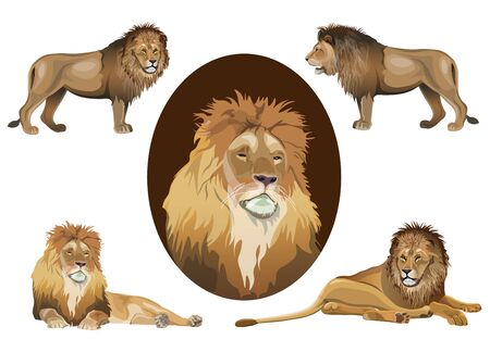 Lion portraits of the head, in full growth and lying in various poses. Set of vector illustrations isolated on white background