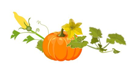 Ripe orange pumpkin with stem, leaves and flowers. Vector illustration isolated on white background