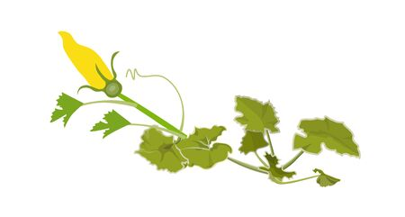Pumpkin plant with green leaves and yellow flower. Vector illustration isolated on white background