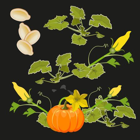 Pumpkin set vector - plant, stem, leaves, flowers, seeds. Vector illustration isolated on black background Ilustrace