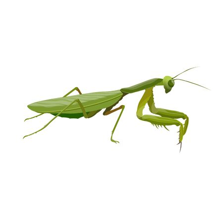 Praying mantis. Predatory insect. Vector illustration isolated on white background