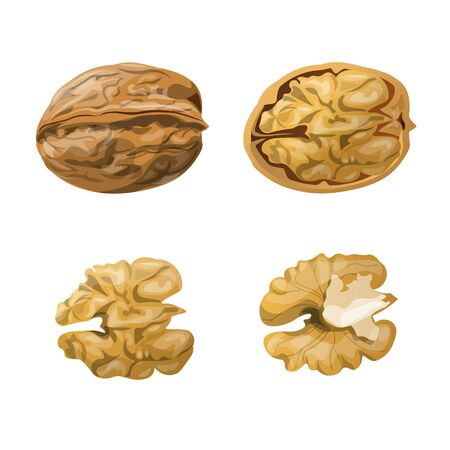 Walnut whole, opened and kernels. Vector illustration isolated on white background Ilustrace
