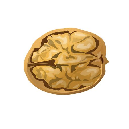 Open half walnut in a shell. Vector illustration isolated on white background Ilustrace