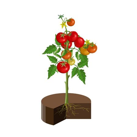 Bush tomatoes with fruits, leaves and roots in soil. Vector illustration isolated on white background
