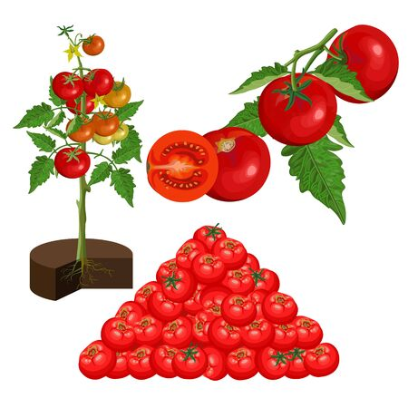 Set of fresh red tomatoes. Branch, bush, leaf and fruits. Organic food. Vector illustration isolated on white background