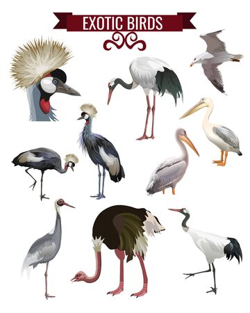 Exotic birds set. Cranes, pelicans, ostrich. Vector illustration isolated on white background in realistic style design.