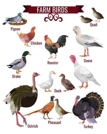 Farm birds set. Poultry domestic animals collection. Pigeon, quail, hen, rooster, goose, duck, pheasant, ostrich, turkey. Vector illustration isolated on white background in realistic style design Illustration
