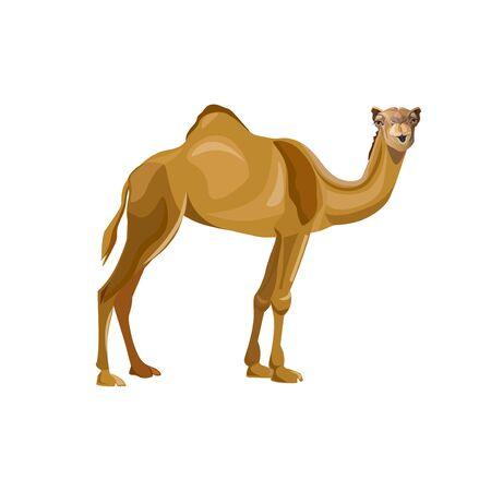 Dromedar, einhöckriges Kamel. Lasttier. Vektor-Illustration isoliert auf weißem Hintergrund