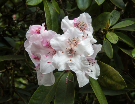 Pink & White Rhododendron Stock Photo