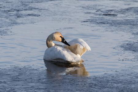 preening: Trumpeter Swan Preening