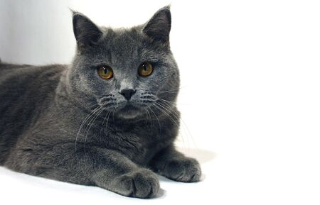 British Shorthair in front of a white background
