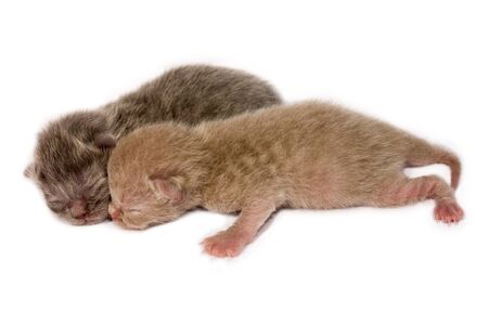 Two blind newborn kittens , iolated on white background