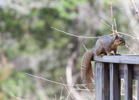 Squirrel on a Deck Rail