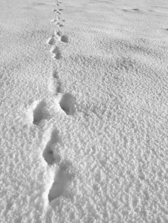 Detail of hare footprint on snow