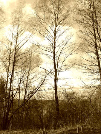Birch in sky, sepia mode