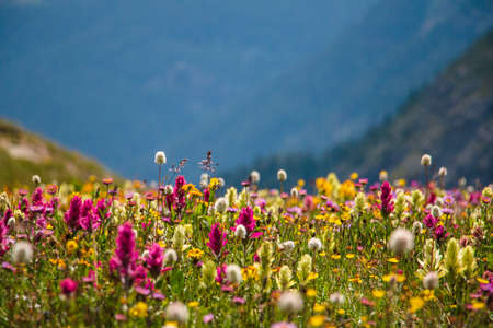 Wildflowers in the Colorado mountains near Silverton