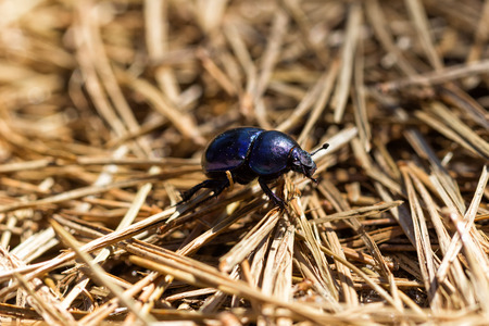 Dung beetle during drought and crop failure photo