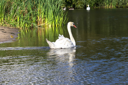 The floating swan photo