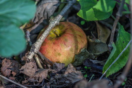Rotten apple lying in the woods photo