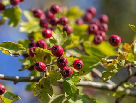The rowan on autumn tree photo