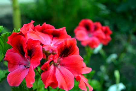 Beautiful red and pink flowers in a home flower garden