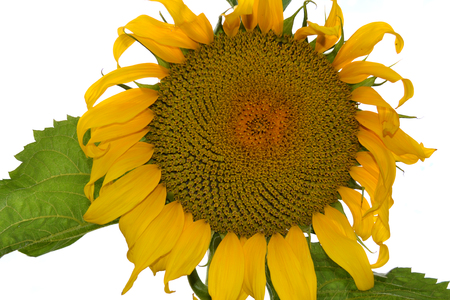 Amazing yellow sunflower isolated on white background Stock Photo