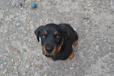 Cute Rottweiler puppy with kind of eyes looking straight into the soul Foto de archivo - 98488104