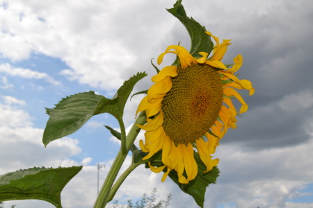 Beautiful yellow sunflower on a background