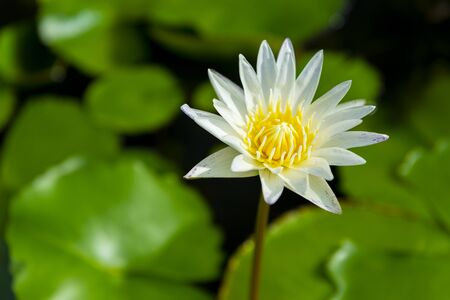 White fresh lotus in the nature lake with lotus's leaf at the green backgroud for nature peace concept.