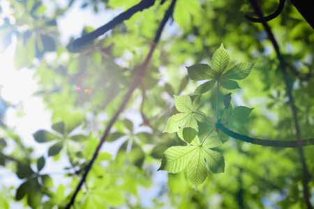 green leaves of horse-chestnut against the sun photo