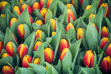 Romantic multicolor tulips background photo