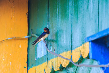 Barn Swallow sitting on a wire on the background of a wooden house photo
