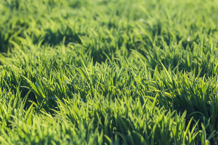 background of fresh spring green grass in sunlight photo